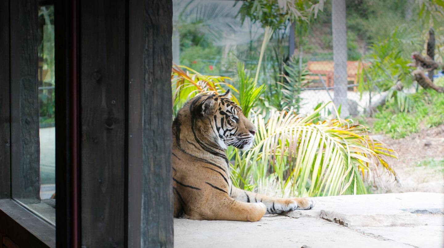 A tiger seen through a window at the Sambutan Long House