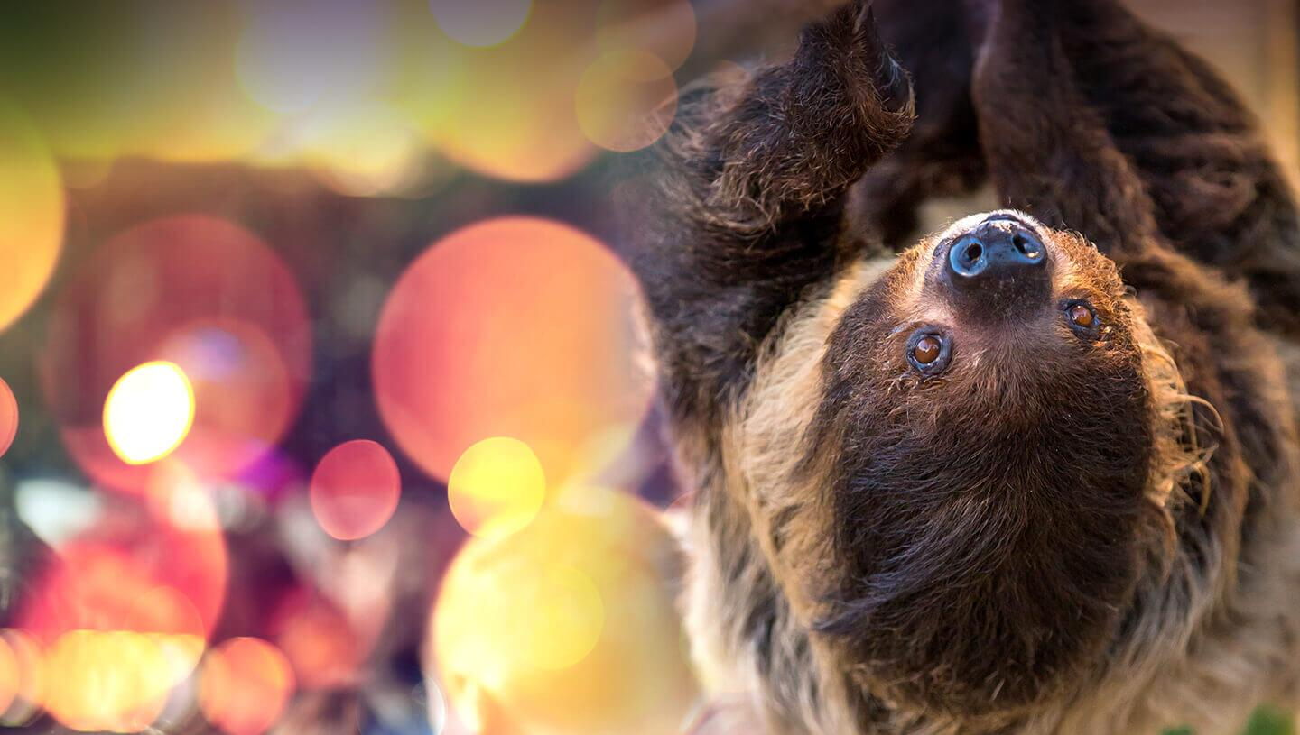 Closeup of a sloth with party decorations in background