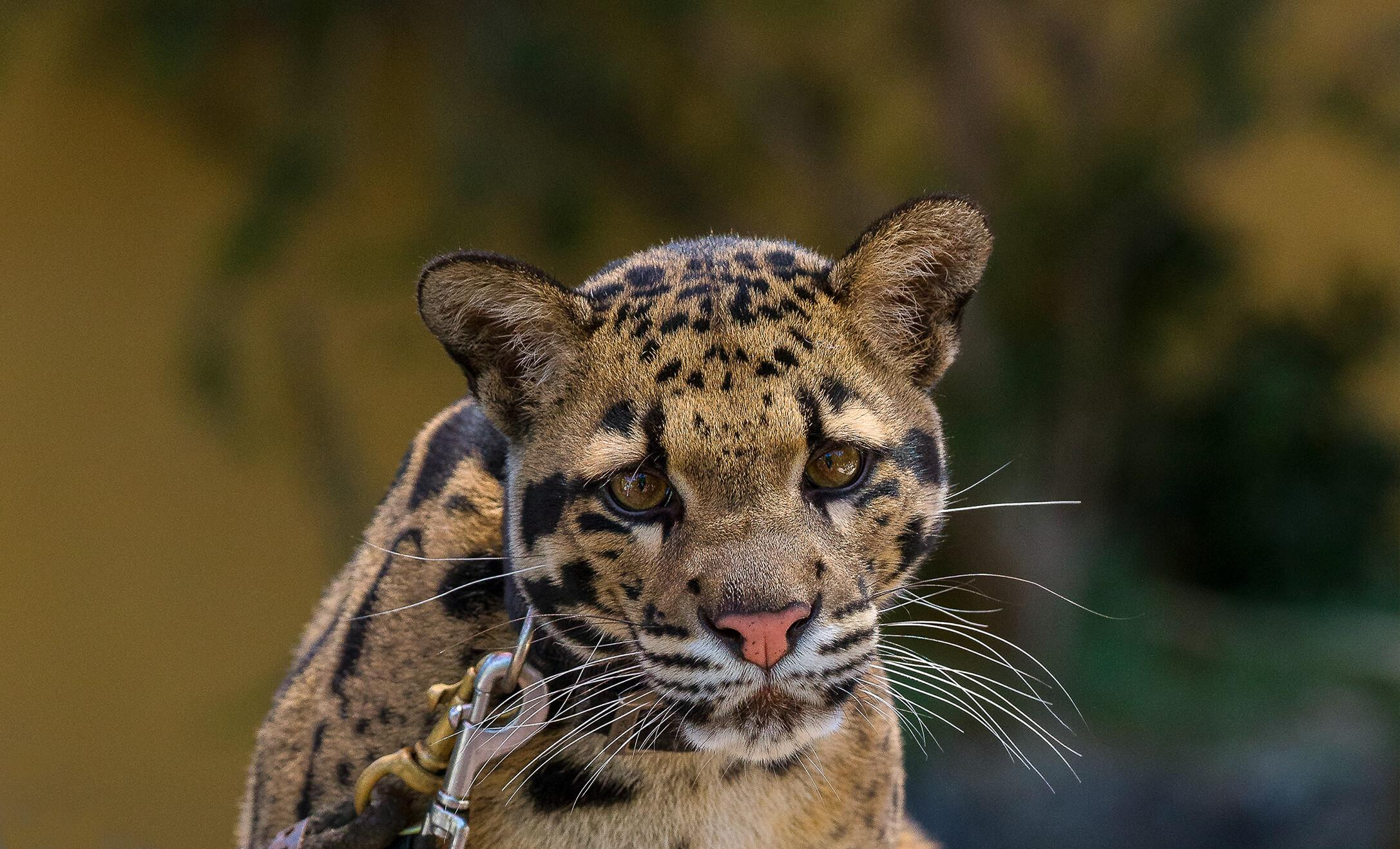 Clouded leopard staring straight at screen.