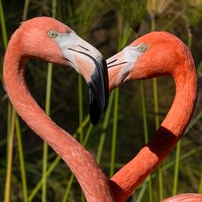two flamingos necks & heads form a heart shape - PICTURE TO REMAIN