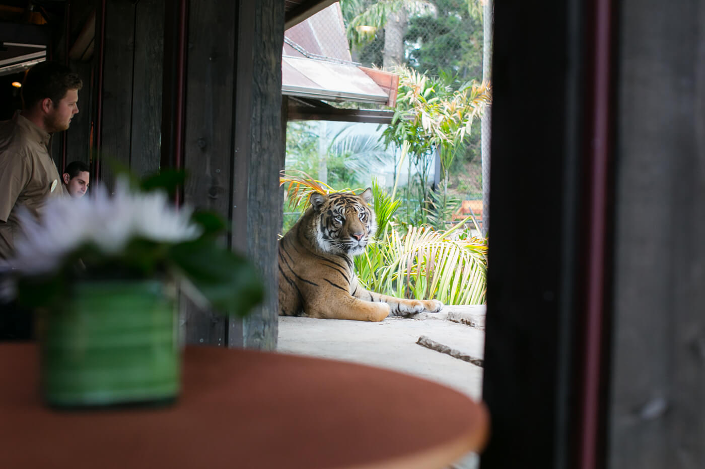 Tiger in window