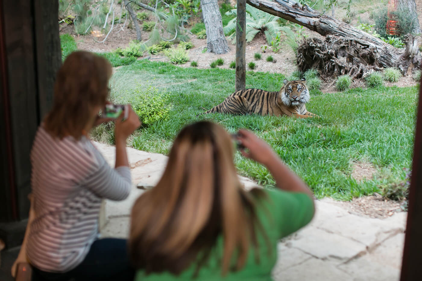 guests taking photos of tigers