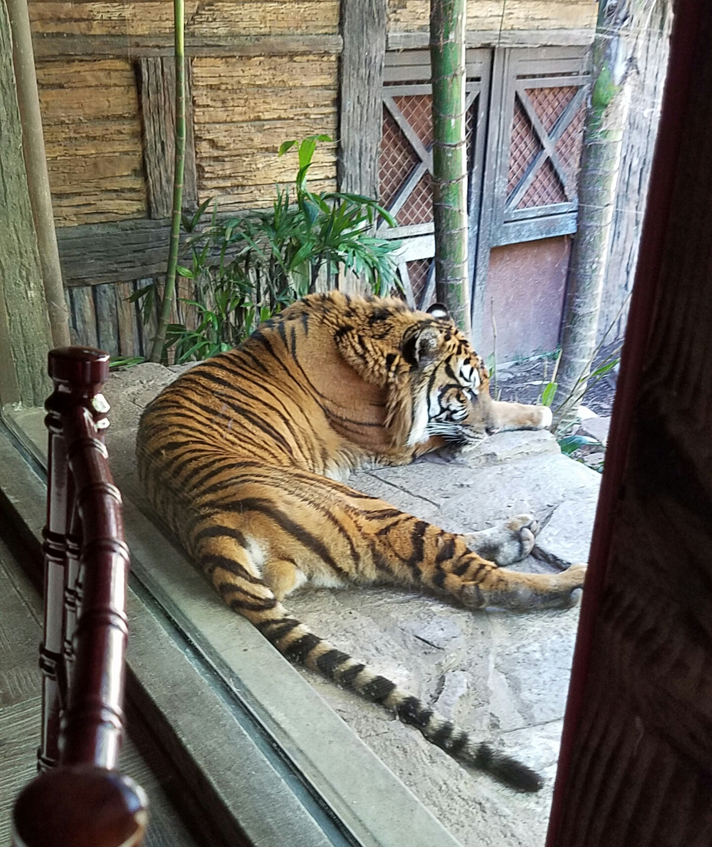 tiger at window